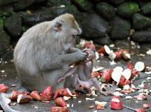 猴子010 免版税库存图片