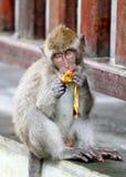 猴子008 免版税图库摄影