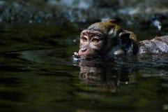 猴子洗浴 免版税库存照片