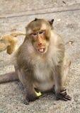 猴子 免版税图库摄影