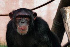 猴子` s深刻的神色 库存照片