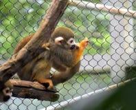 猴子nogo 免版税图库摄影
