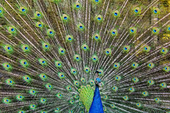 孔雀充分的传播的尾巴 图库摄影