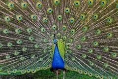 孔雀充分的传播的尾巴 库存照片