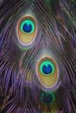 孔雀全身羽毛的细节 库存照片