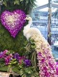 孔雀兰花在模范曼谷兰花天堂2014年 免版税库存照片