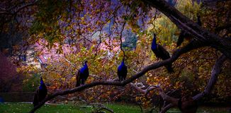 孔雀和他们睡觉地方 免版税库存照片