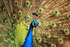 孔雀和他的眼睛 免版税库存照片