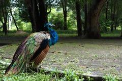 孔雀在一个动物园里疏松在巴西 免版税库存图片