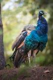孔雀在一个自然生态环境 免版税库存图片