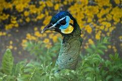 孔雀在俄国动物园里 库存照片