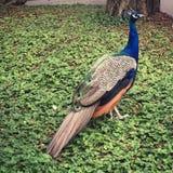 孔雀在公园 免版税库存照片