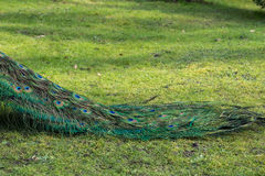 孔雀在公园 免版税库存图片