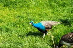 孔雀在农场 免版税库存照片