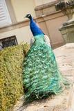 孔雀在城堡庭院里 免版税库存照片