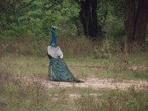 孔雀在斯里兰卡Kathragma森林里 库存照片