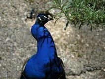 孔雀在树荫下 免版税图库摄影