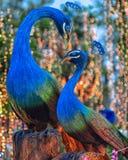 孔雀在泰国 免版税库存照片