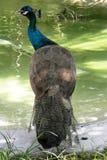 孔雀在湖 免版税库存图片