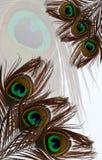 孔雀在白色孔雀羽毛被构造的背景用羽毛装饰 库存图片