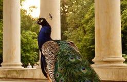 孔雀在Lazienki公园,华沙 库存图片