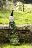 孔雀坐一根树干在一个晴天 库存图片