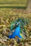 孔雀孔雀座cristatus,休息在常春藤叶子的男性  库存照片
