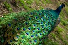 孔雀尾标 库存照片
