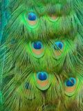 孔雀尾标 库存图片