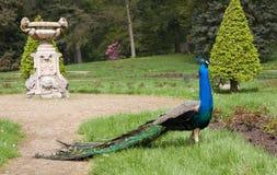 孔雀座在庭院里 图库摄影