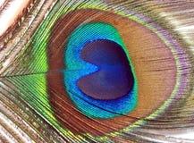 孔雀或孔雀羽毛  免版税库存照片