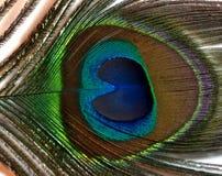 孔雀或孔雀羽毛  免版税库存图片