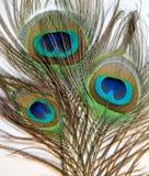 孔雀或Peahen羽毛  免版税图库摄影