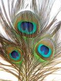 孔雀或Peahen羽毛  免版税库存照片
