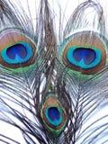 孔雀或Peahen羽毛  免版税库存图片