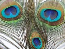 孔雀或Peahen羽毛  库存照片