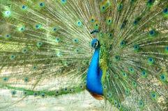 孔雀是分布的尾标羽毛 图库摄影