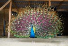 孔雀显示他从左边的美好的尾巴意图 免版税库存照片