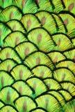孔雀标度 库存图片