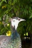 孔雀母鸡 免版税库存照片