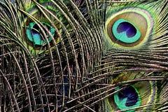 孔雀用羽毛装饰背景 库存图片