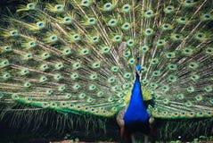 孔雀的传播尾巴的细节 库存图片