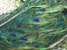 孔雀的尾巴的特写镜头视图在琐事公园,巴黎,法国,欧洲,2019年4月的 免版税库存图片