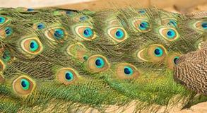 孔雀的羽毛 库存照片