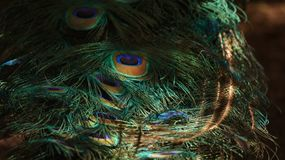 孔雀的羽毛 免版税库存照片
