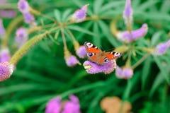 孔雀眼睛蝴蝶在花的 免版税库存照片