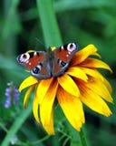 孔雀眼睛蝴蝶坐黄色花上面迷离绿色背景在夏日 库存图片