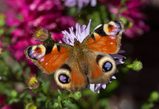孔雀眼睛蝴蝶在秋天颜色的 库存图片