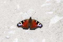 孔雀眼睛蝴蝶坐路涂它的翼 库存图片