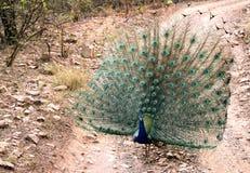 孔雀美丽的羽毛  免版税库存照片
